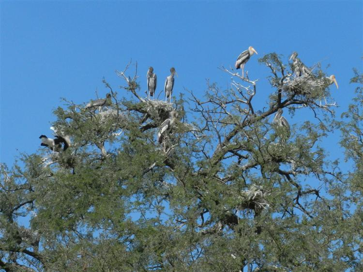 Painted Stork colony in Bhavnagar - BNHS